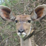 Greater kudu and Oxpecker
