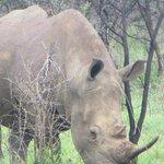 White Rhino (never saw the black!)