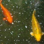 Peces en estanque interior patio hotel