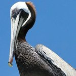 pelican sitting on pier