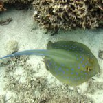 Blue Spotted Ray on House Reef
