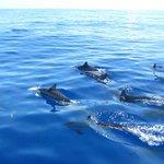 Dauphins au large du morne