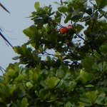Macaw Roosting in Tree