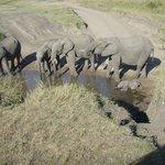 En stor elefantflokk der minstemann ikke hadde lært å bruke snabelen ennå