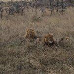 Løvene var veldig tett på oss og heldigvis mette og fornøyde.