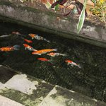 fishpond in dining area
