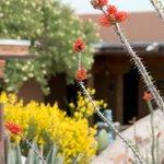 Desert in bloom in the courtyard