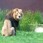 Leão Asiático | Asian Lion