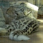 Baby Snow Leopard looking for Mom to pounce on
