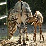 Summit the baby male zebra born 8/19/13