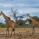 Game  Drive - Giraffes