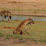 Hyenas at Waterhole