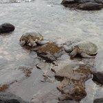 Turtles on the Rocks Below Noelani