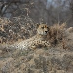 Cheetah at rest before hunting