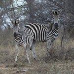 Stripes in the bush