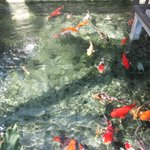 fish pond large variety of koi fish