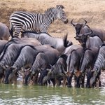 Wildebeests having a drink at the Hippo Pool