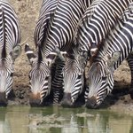 Zebra taking their time for a drink in Mikumi