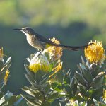 A Cape Sugarbird perched on a Pincushion Protea