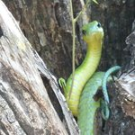 boom slang snake