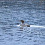 merganser on beaver pond