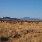 Oryx in William's game reserve