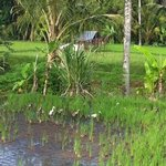 scenes in the ricefields in fron of our villas