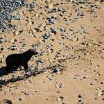 seal coming onto shore