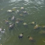 The natural pond with tons of turtles bring bread!