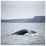 Fluke tail of a humpback