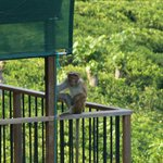 Watch out for the Macaques!