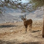 Encounters with ibexes are not rare