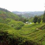 Tea Plantation Scenery, Cameron Highlands