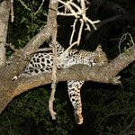 Beautiful sighting of female Leopard on our first night drive