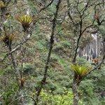 Bromélias fixadas em galhos de outras árvores num altura elevada