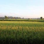 Rice Paddies in November...view from Villa Asmara!