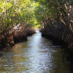 Airboat trail through the mangroves