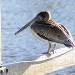 Brown Pelican on the docks
