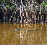 Alligator near the boat