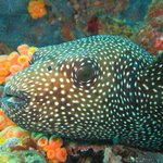 Female Pacific Boxfish