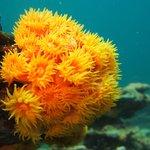 Prange Cup coral