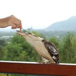 The house kookaburra