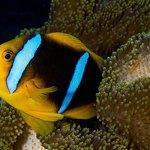 Oramge Fin Anemonefish