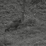 More boar