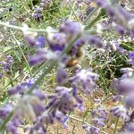 lavender honey bees