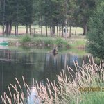 Moose at the ranch pond
