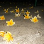 It was frangipani season when the flowers will fall on the floor