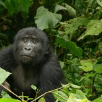 Gorillawanderung