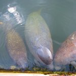 Manatee Family visits in morning