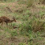 bushbuck just over the fence